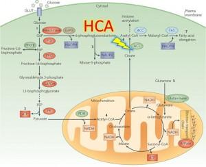 HCA-mechanism