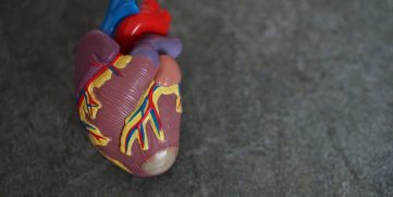 A model of a heart.