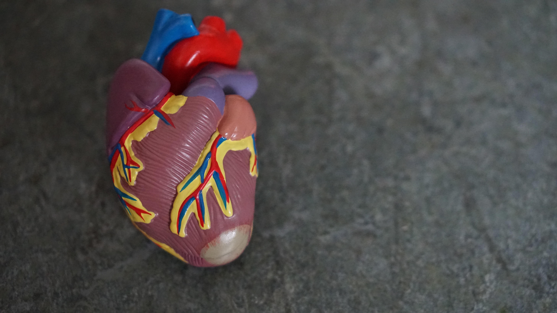 A model of a heart.