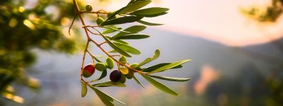 Olive oil is made from olives and has health benefits.